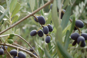 davero-olives_on_tree.jpg